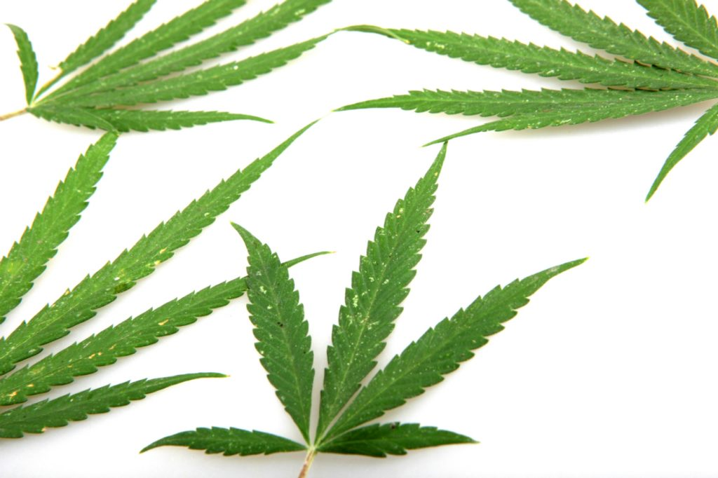 marijuana leaves on white background